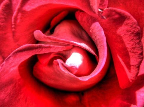 Rosa roja   Red rose