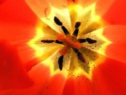 Tulipán rojo   Red tulip